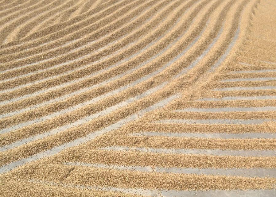 Secado al sol. Proceso tradicional de Arroz Ciudad de Sueca